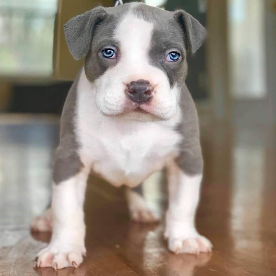american pitbull terrier puppies